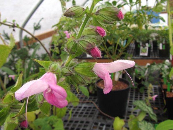 Salvia glabrescens 'Momobana'