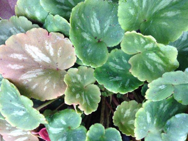 Saxifraga epiphylla DJHC0581