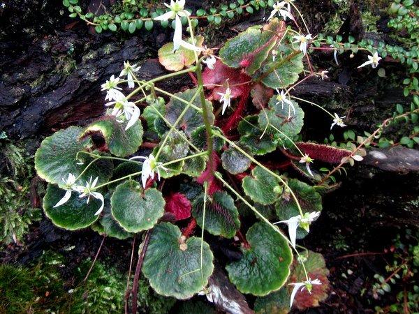Saxifraga epiphylla 'Jinfo Gem' MD10-175