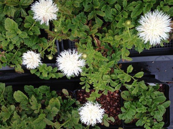 Serratula coronaria 'Alba'