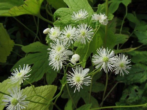 Trautvetteria applanta