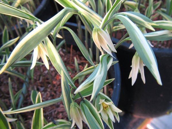 Uvularia sessilifolia 'Albomarginata'