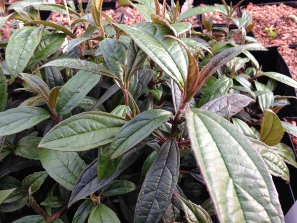 Viburnum cylindricum PZM14-034