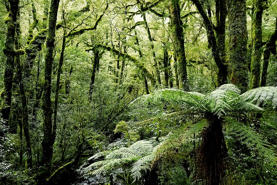 Mossy fern forests of the Kepler track.