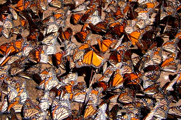 Mexican! Butterflies! Everywhere!
