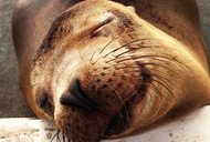 Sea Lions Really Are the Cutest Animals