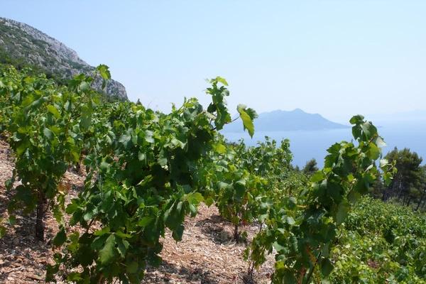 Pelješac vineyard, Croatia