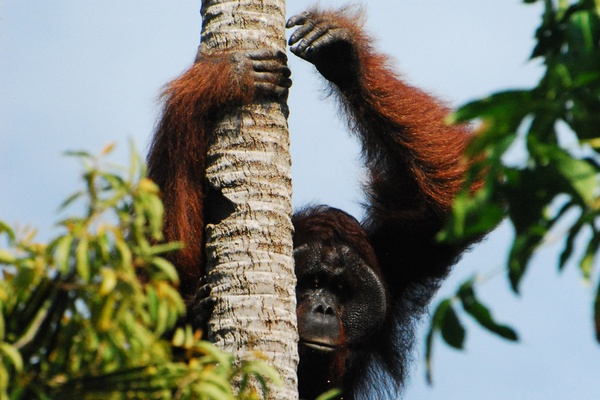 I Followed Orangutans Down the Road Less Traveled in Borneo