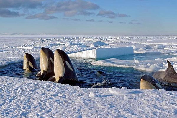 Killer Whales Come Up for Air