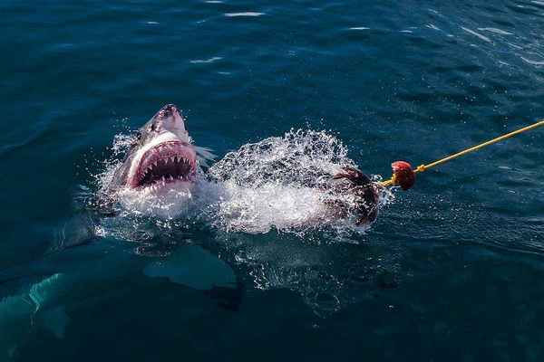 Diving with the Great Whites of Gansbaai