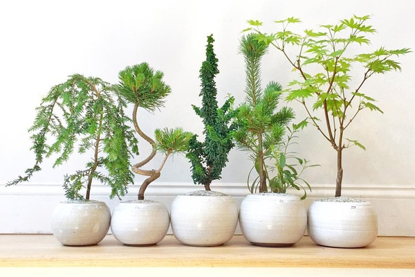 Dandy Farmer Bonsai Trees