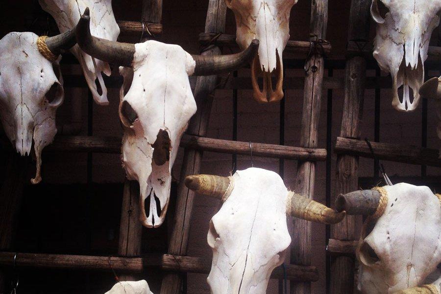 Cow Skulls