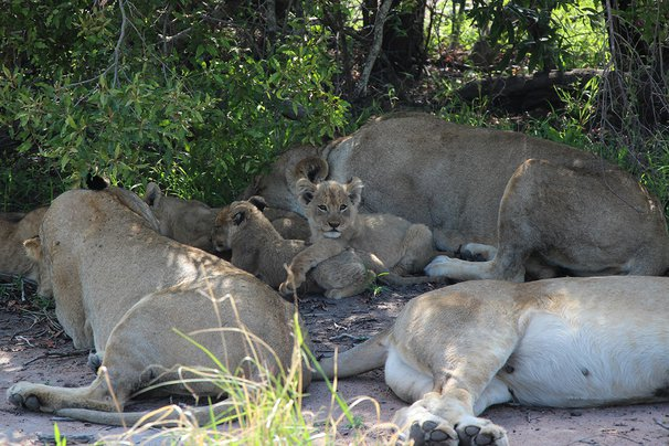 lioness and cubs in Sabi Sand Game Reserve, South Africa