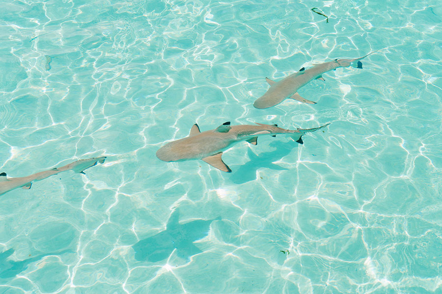 Sharks in Tahiti, French Polynesia - Dantom