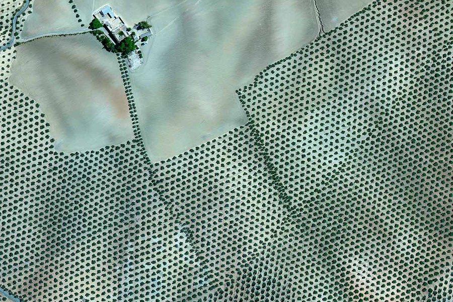 Granada Olive Plantation