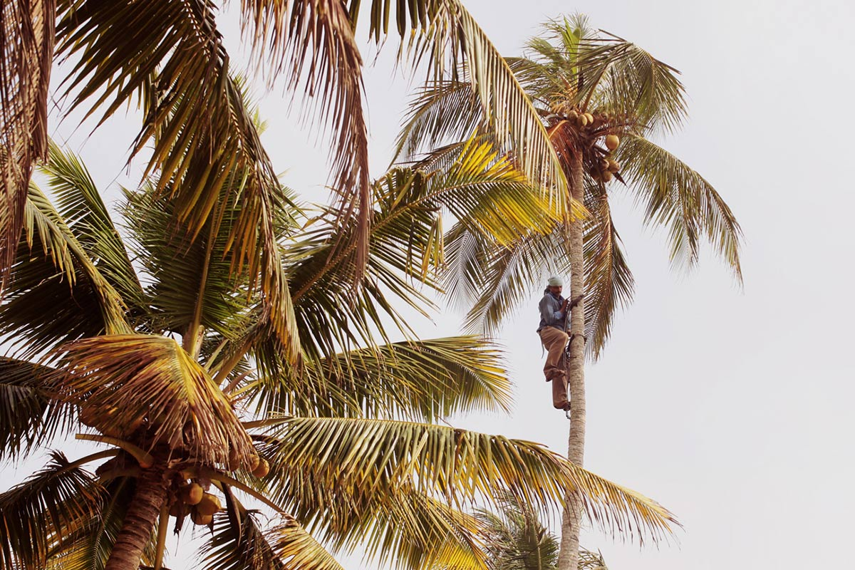 Coconut trees in Kerala, India.