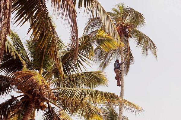 Coconut trees in Kerala, India.