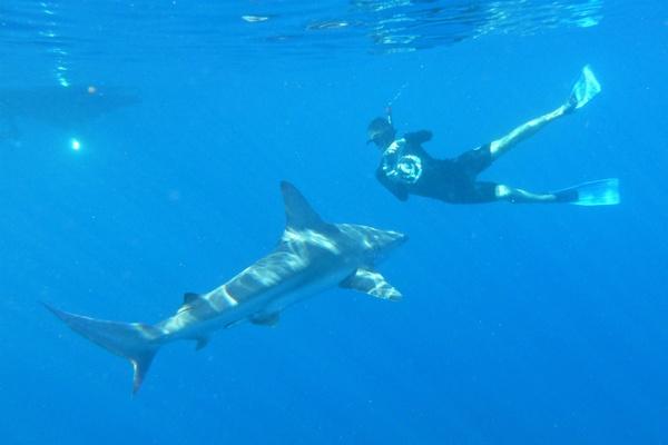 Snorkeler and shark in Hawaii