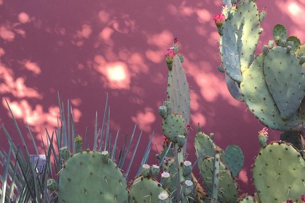 Cacti outside Mii Amo spa at Enchantment Resort - Sedona, Arizona