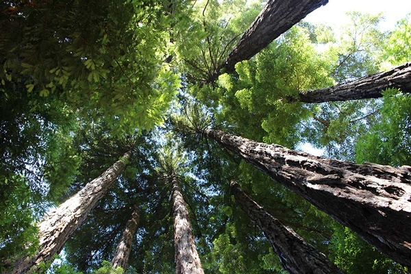 Redwood Trees - Big Sur, California