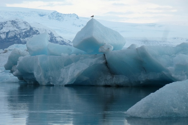 Bird on Iceberg in iceland
