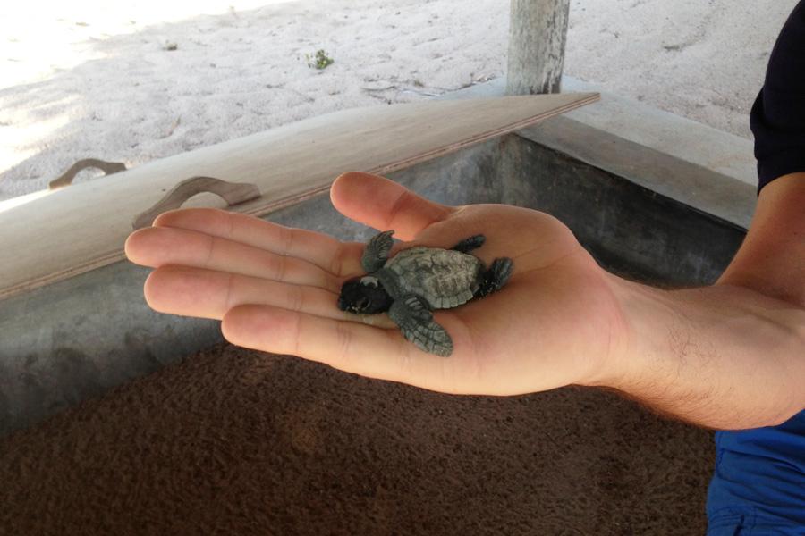 Cuixmala turtle