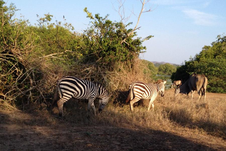 Cuixmala Zebras