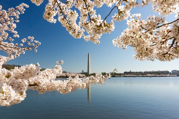 Washington, D.C. momument and cherry blossoms!