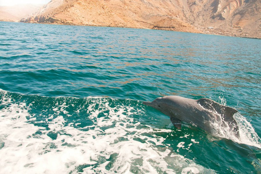 Dolphins in Musandam.