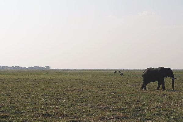 Elephant, Chobe River.