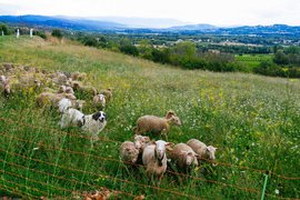 Sheep in Gordes, Provence, France.