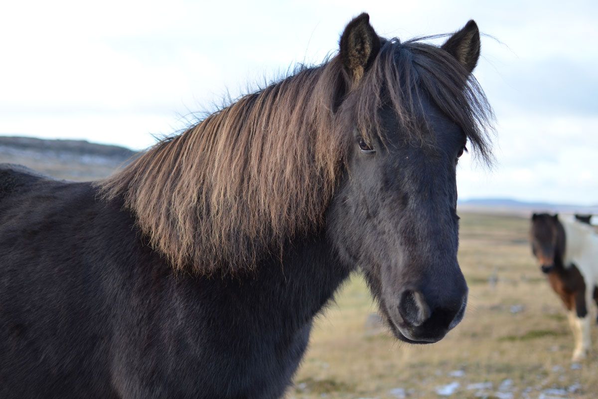 Icelandic Horse becomes Rich's sprit animal