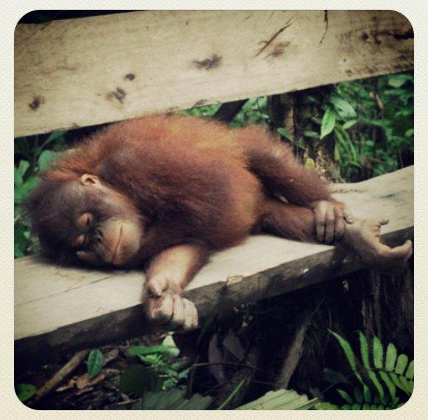 Passed Out Orangutan