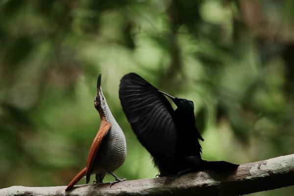 Magnificent Riflebird Courtship Dance