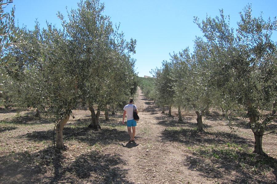 Mandranova olive trees