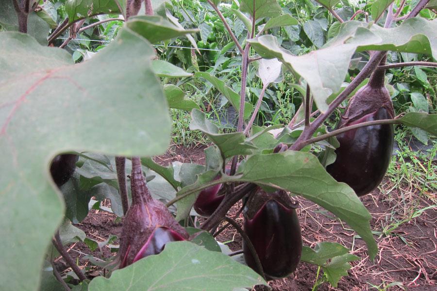 monaci eggplant