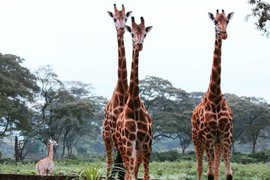 Three endangered Rothschild giraffes.