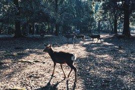 The deer of Nara, Japan.