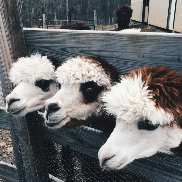 Imagine Alpacas