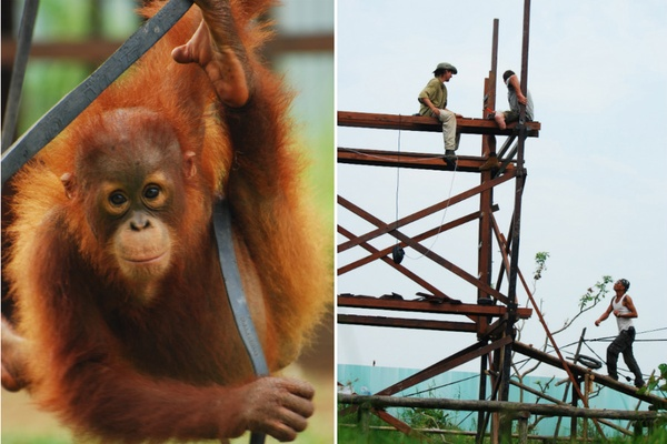 orangutan and tower