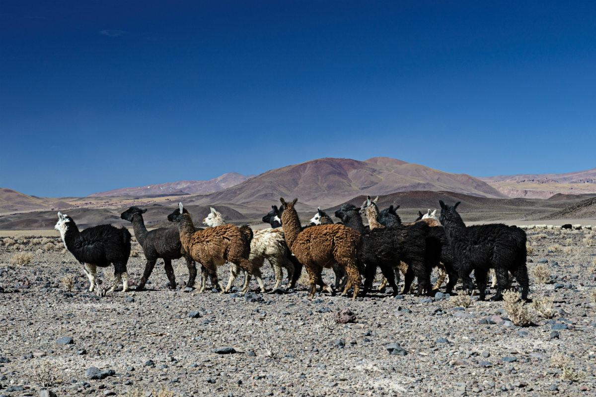 Llamas in the Puna