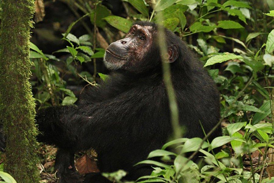 Track Primates in Uganda