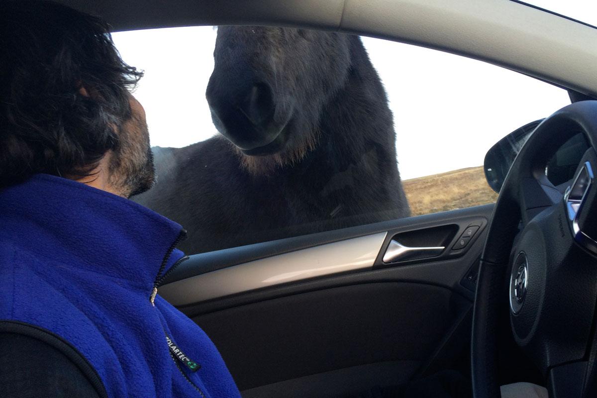 Rich meets Icelandic Horse