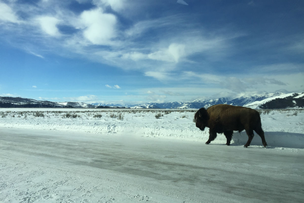 Bison at Grand Tetons National Park in Wyoming.