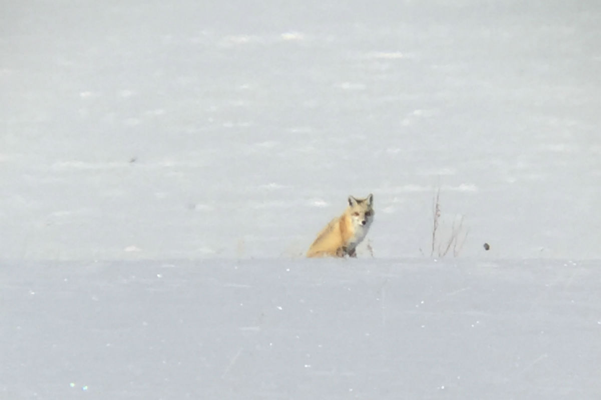 Fox sighting at Grand Tetons National Park.