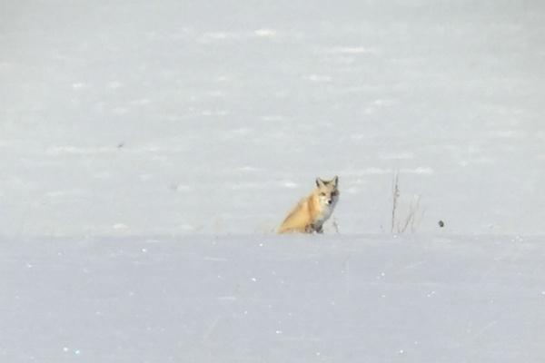 Fox sighting at Grand Tetons National Park.