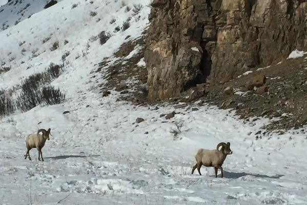 Sheep at Grand Tetons National Park.