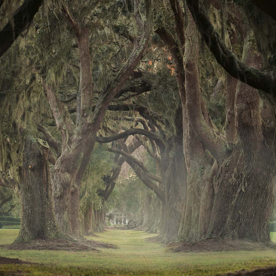 Sea Island Resort Oak Trees