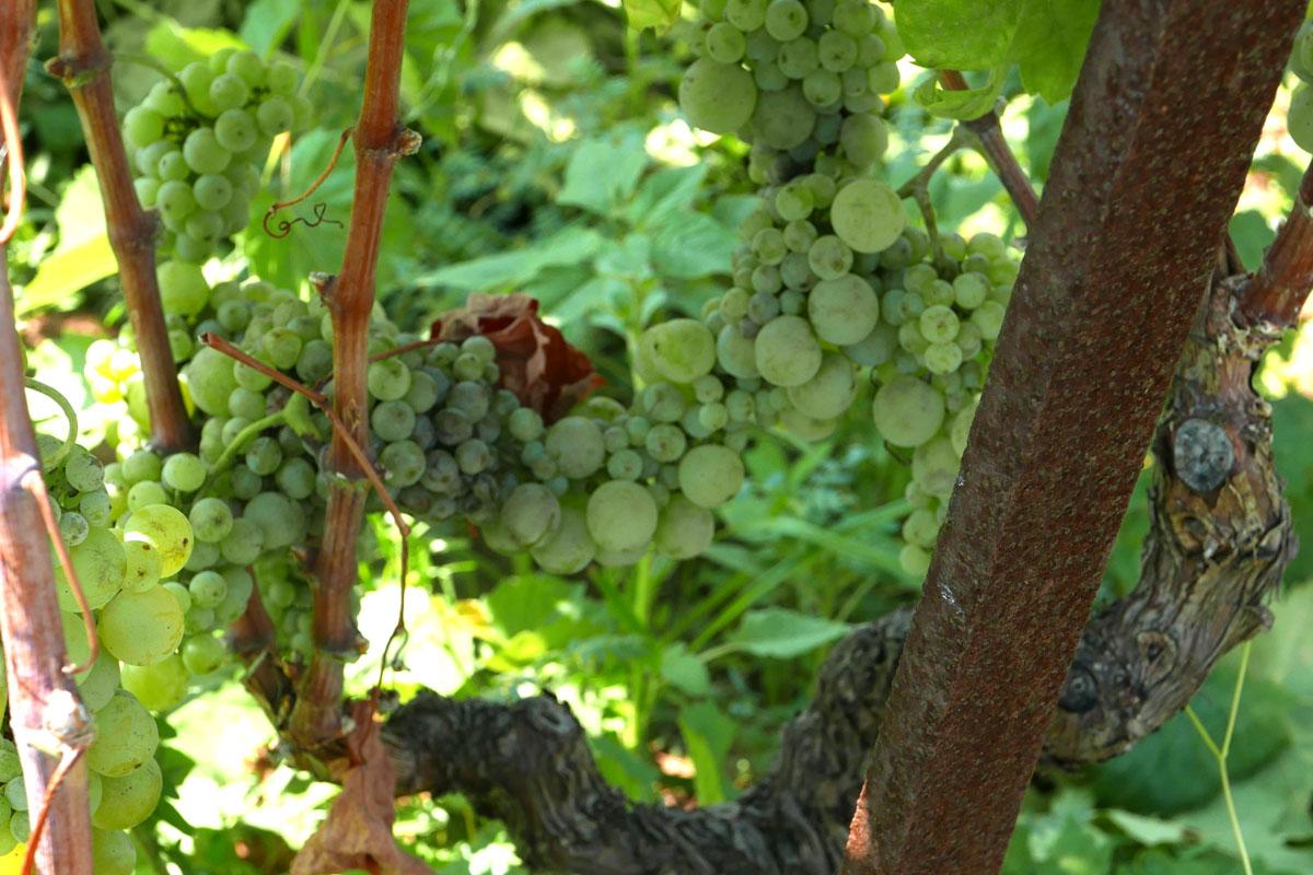Grk grape clusters