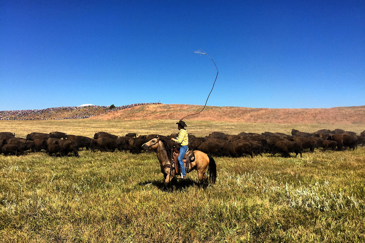 Buffalo Roundup in South Dakota